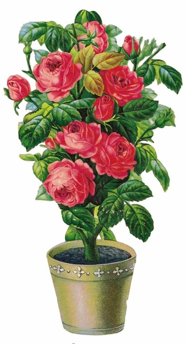 анимационные открытки розы в горшках могучий зимний