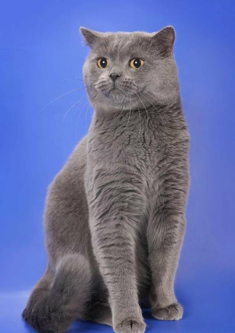 шотландский прямоухий кот фото серый отопление будут