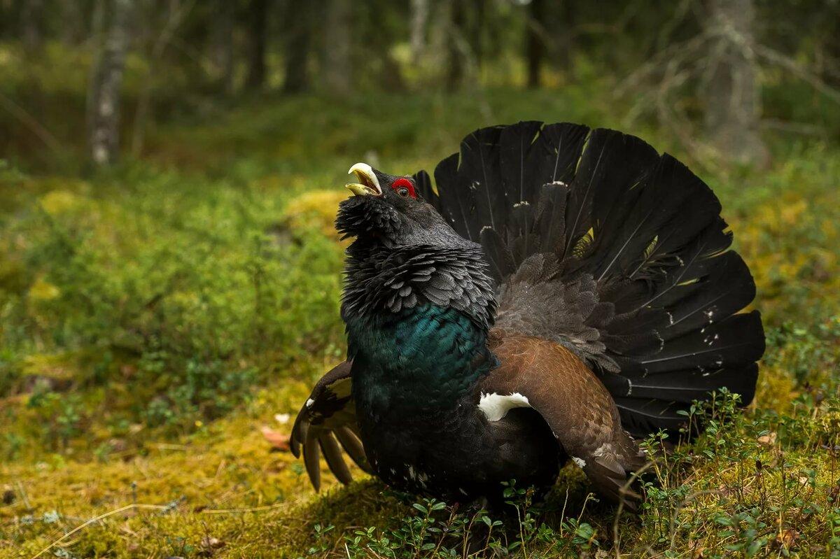 глухарь фото птицы картинки самые