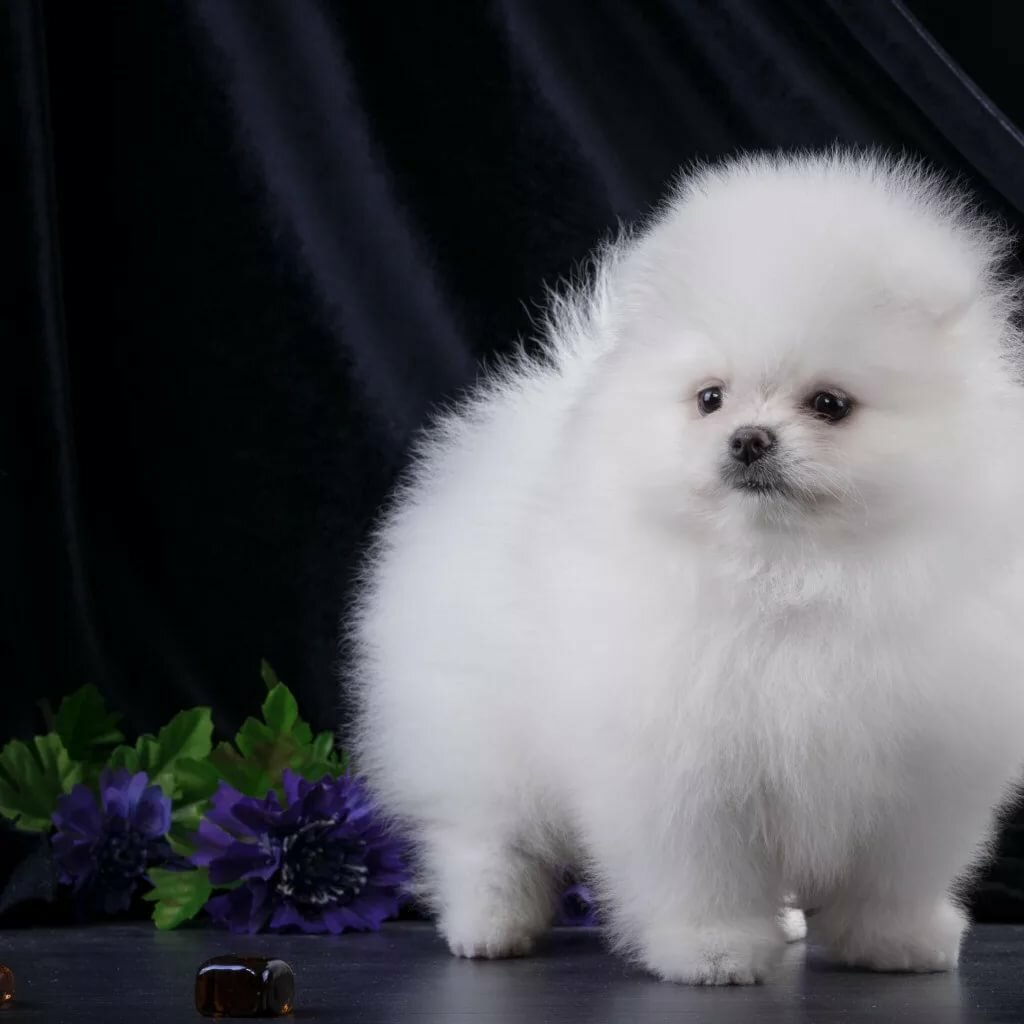 вроде картинки собак шпиц белых январь