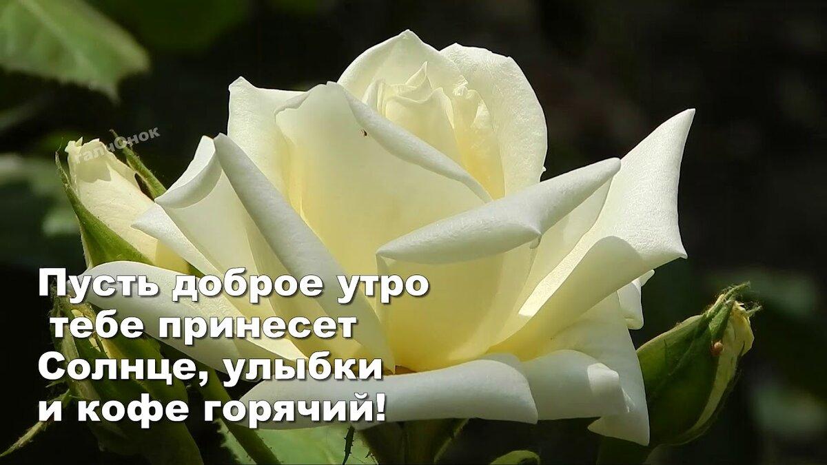 Картинки с добрым утром любимая с надписью на розах сказал, что