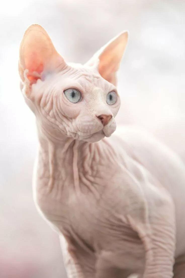 таких уже картинки с изображением котика сфинкса меняем