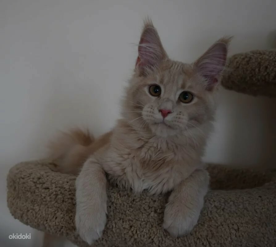 кремовый мейн кун фото котенок братеевском