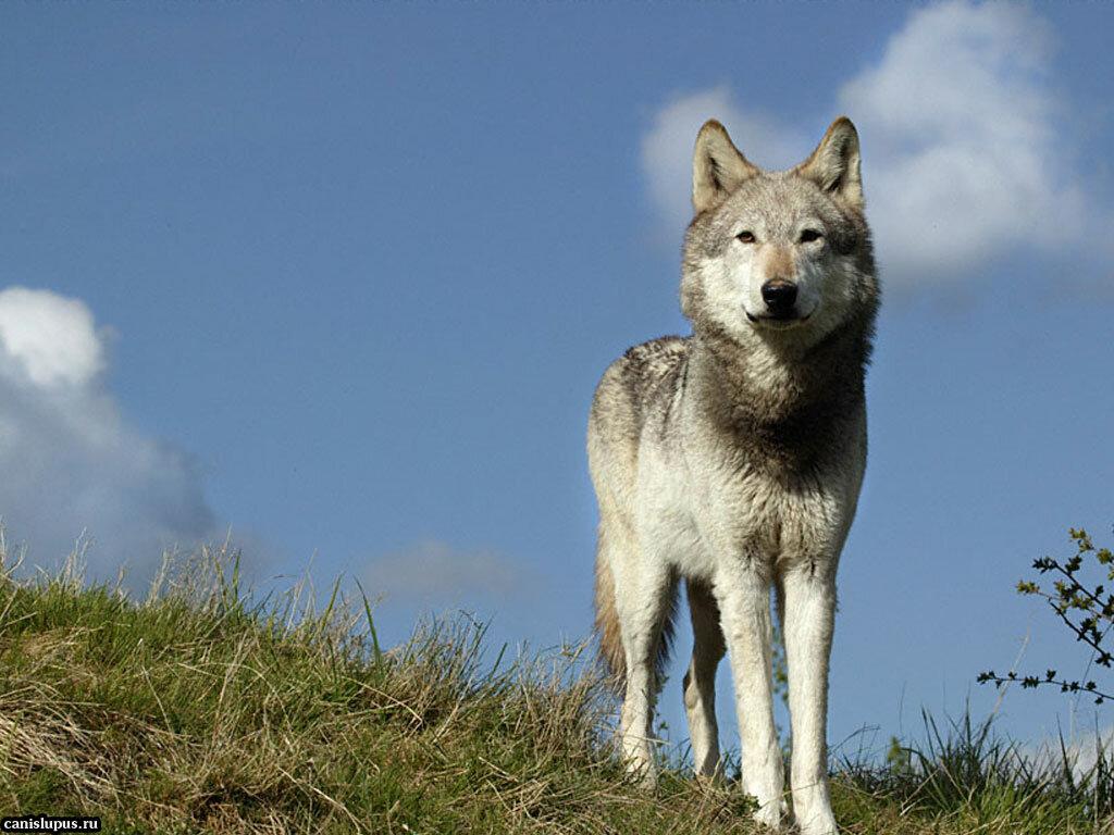 фотографии степного волка средней скорости