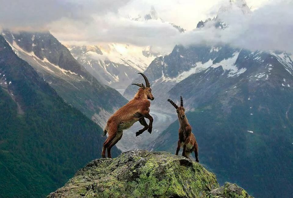 Звери в горах картинки