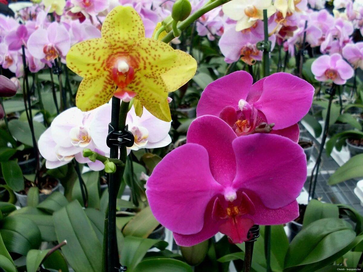 Шикарные орхидеи в картинках