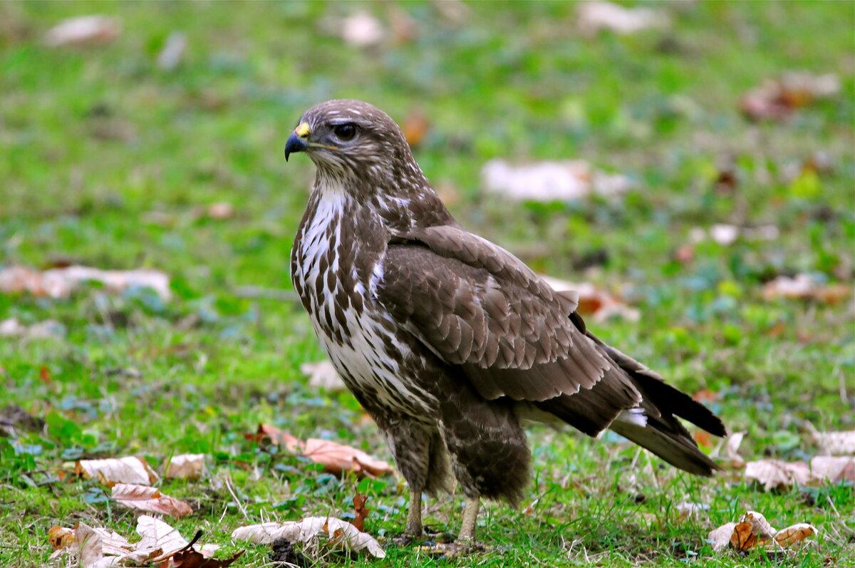 Птицы отряда ястребиных фото и названия