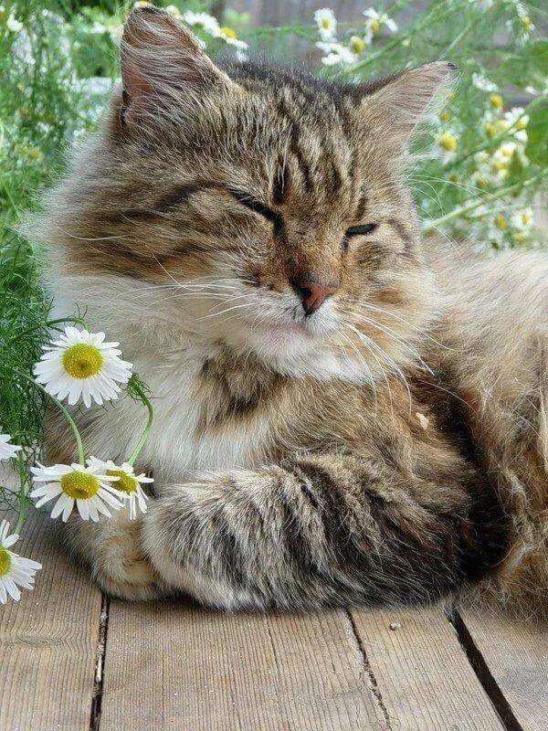 Днем, кот и ромашка картинки