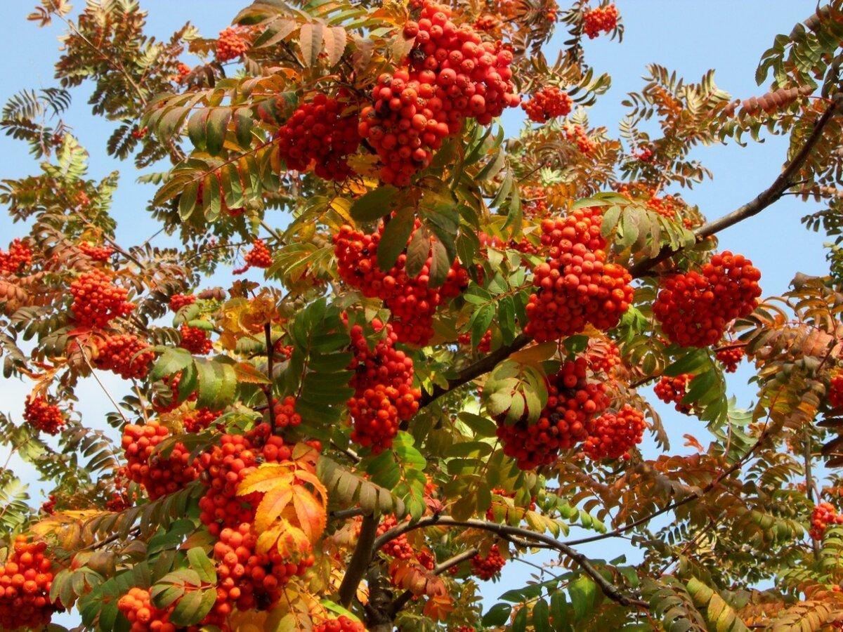 Июня, открытки с гроздьями рябины