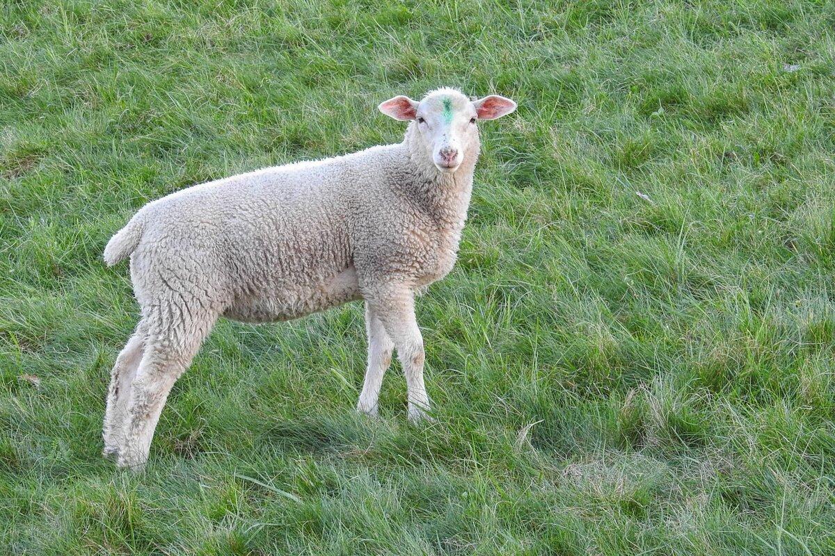 Смотреть картинки овец