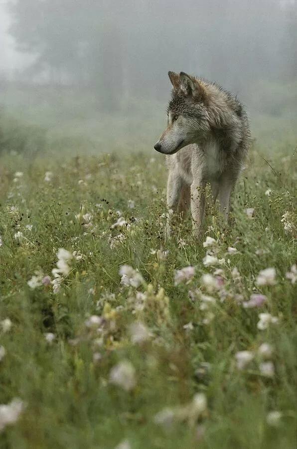 расселять их, волк нюхает цветы фото также