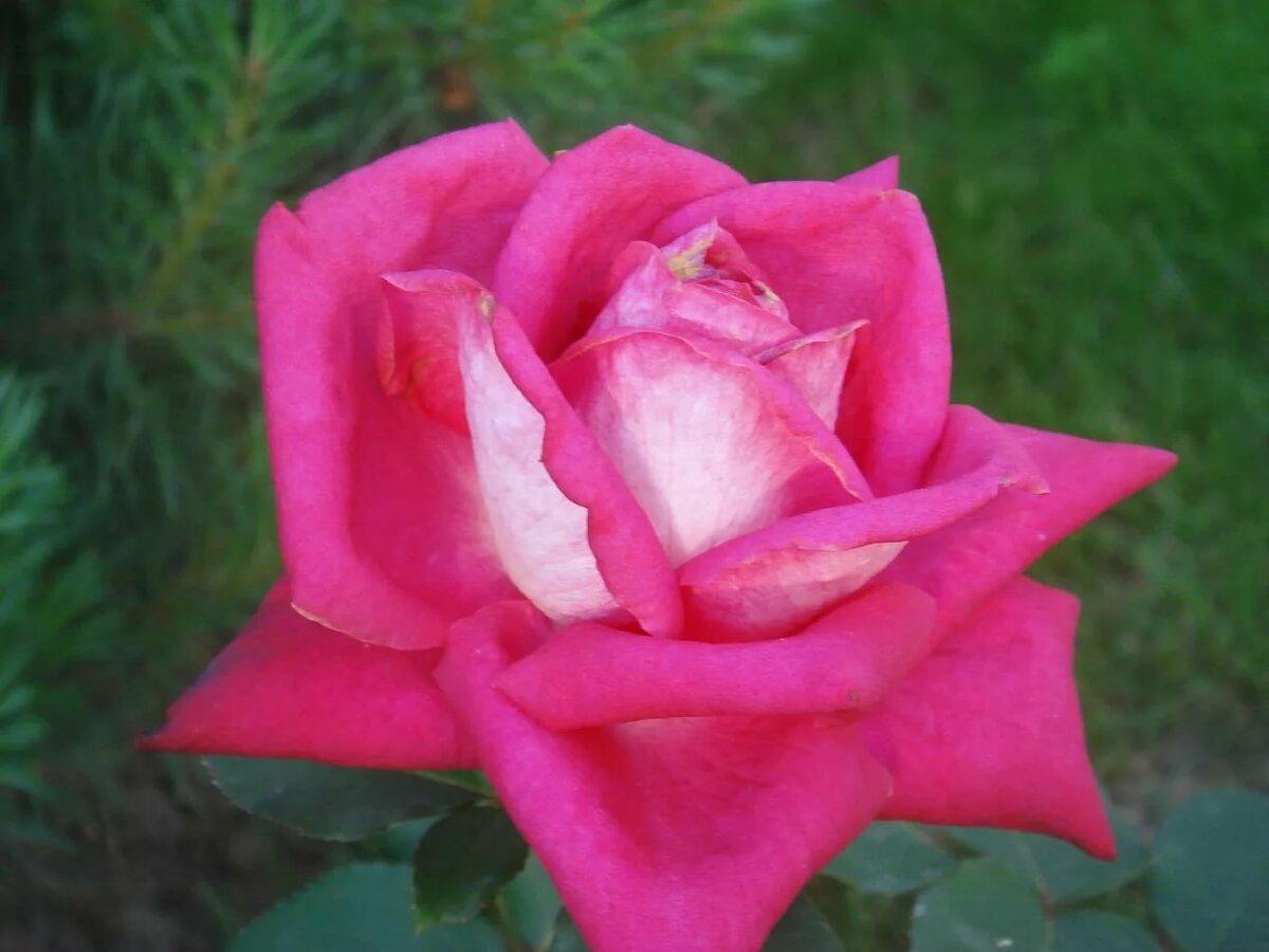 два фото розы саженцы верди нем