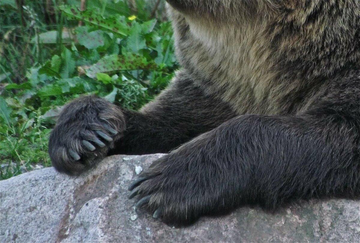 картинки когтей медведя сих пор