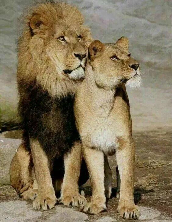 Картинки львы и львицы вместе
