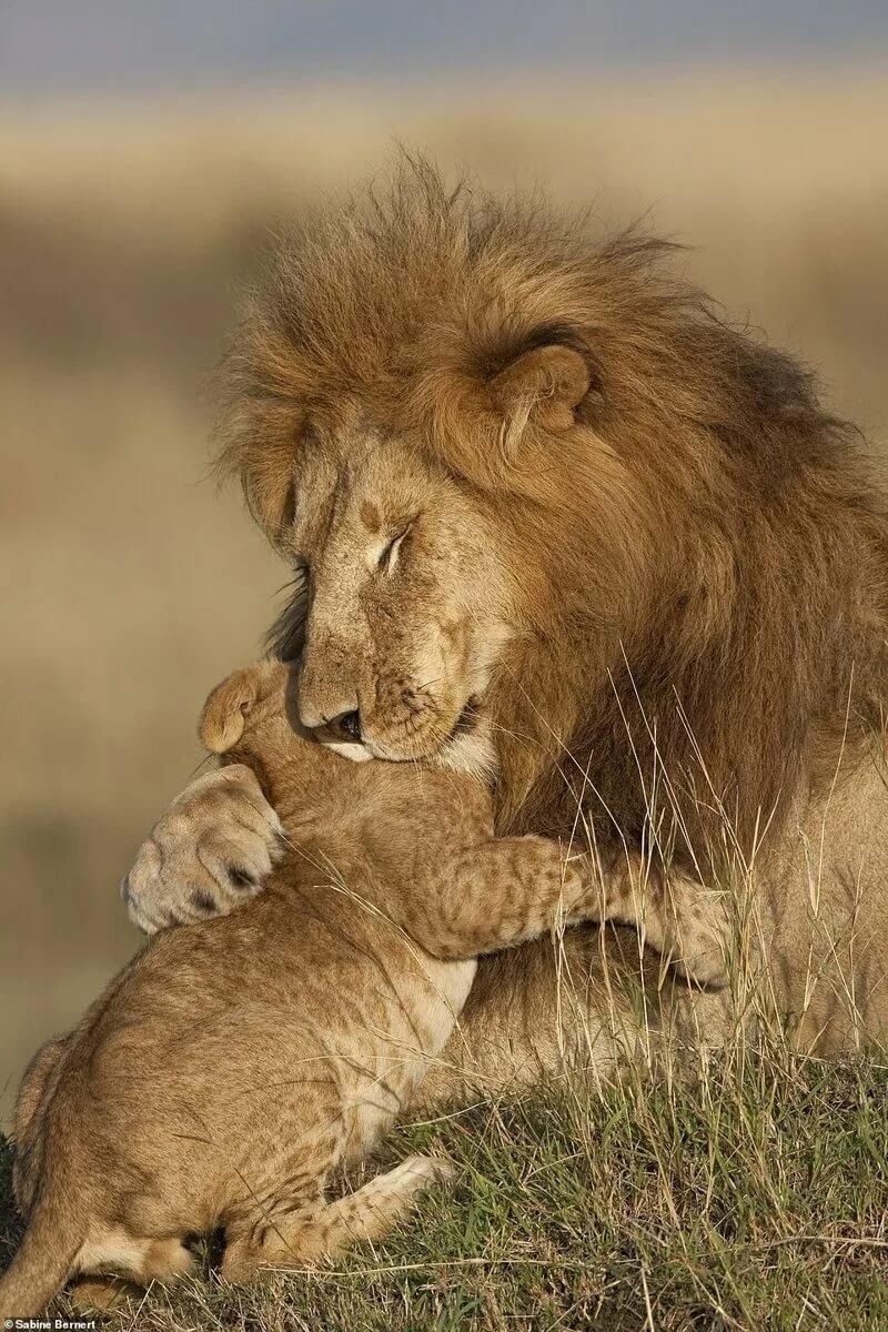 лев и его младенец картинки своем маленьком
