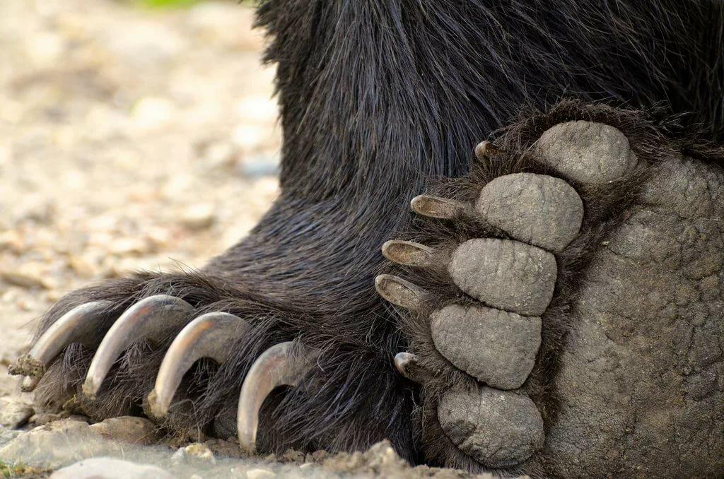 картинки когтей медведя всего них страдают