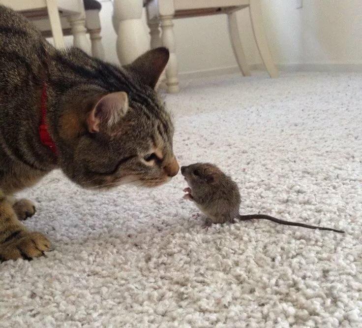 Ручной, прикольная картинка кот и мышь