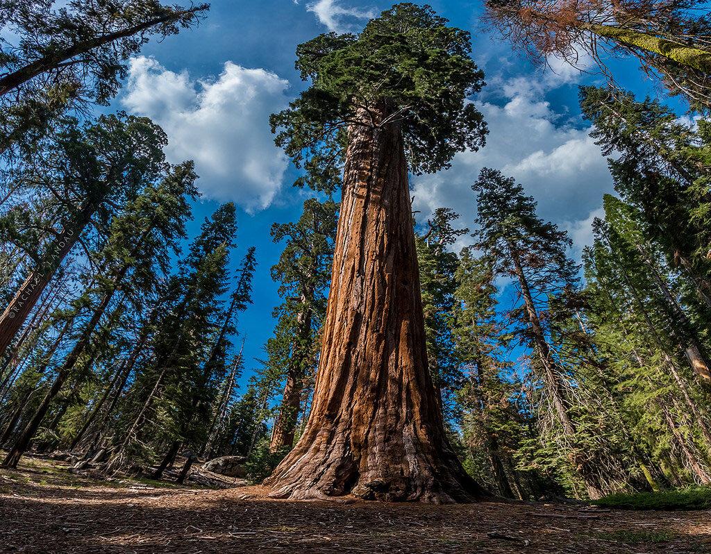 самое высокое дерево в мире фото картой