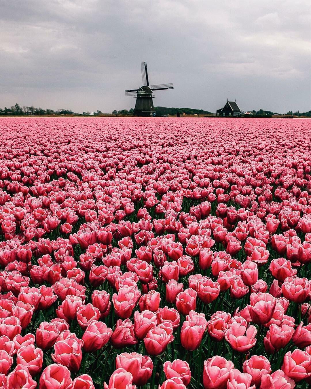 Картинки поле с розами