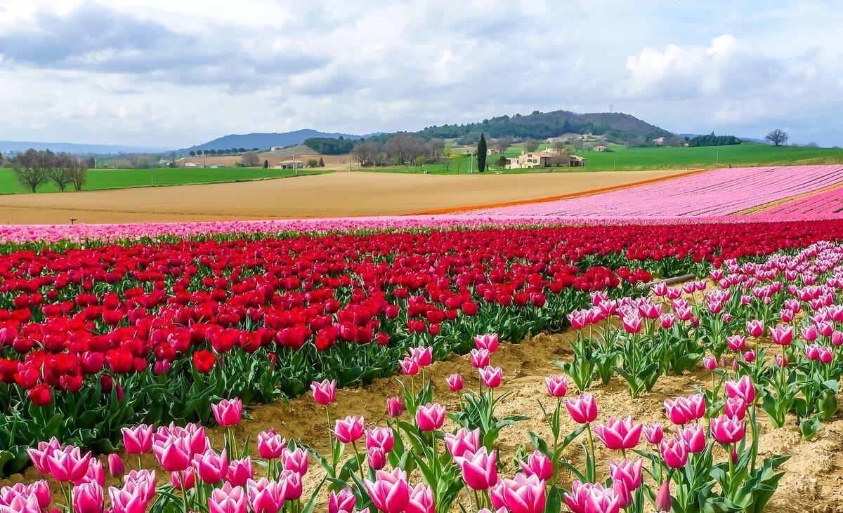 Тюльпановое поле фото
