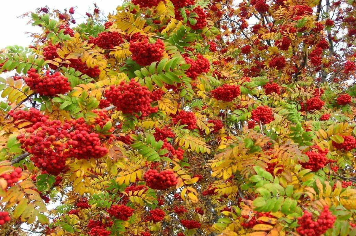 Осень рябина картинки для рабочего стола