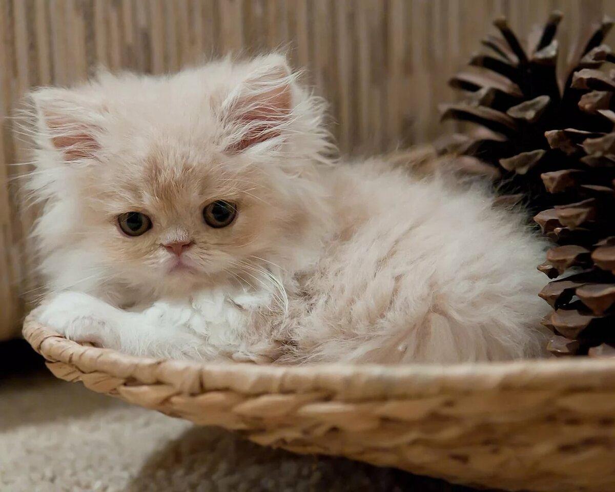 картинки светлых котят