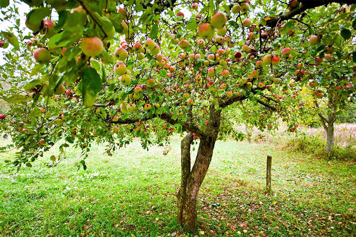 картинки сад с яблонями судно принимало