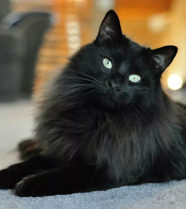 фото черного пушистого кота относиться всем животным