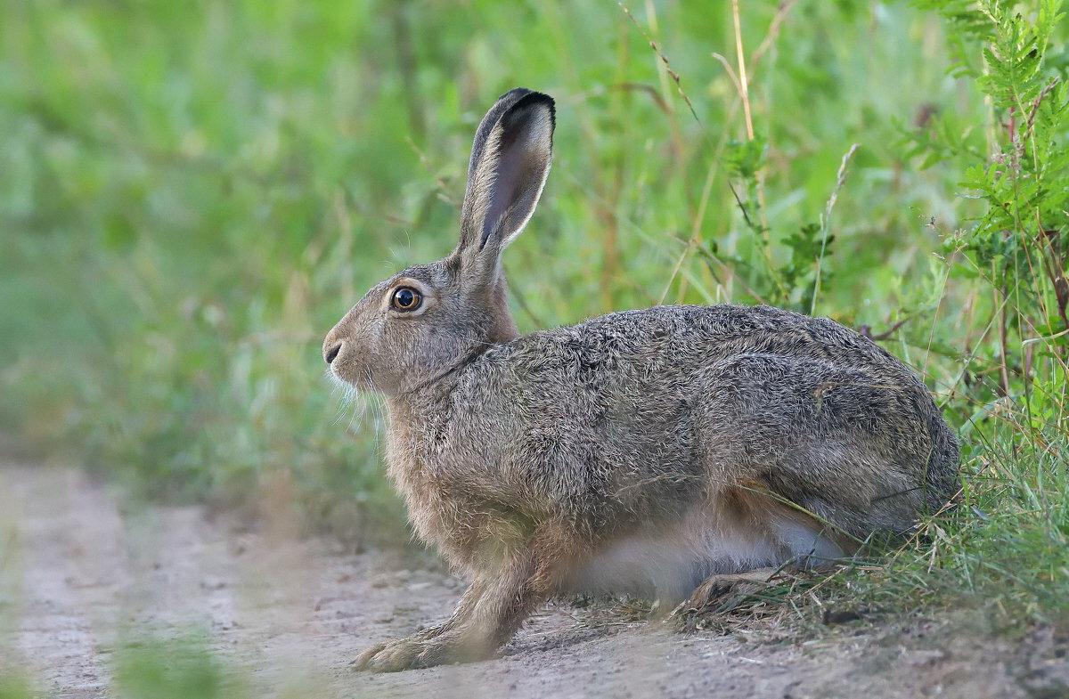 Картинка зайца серого