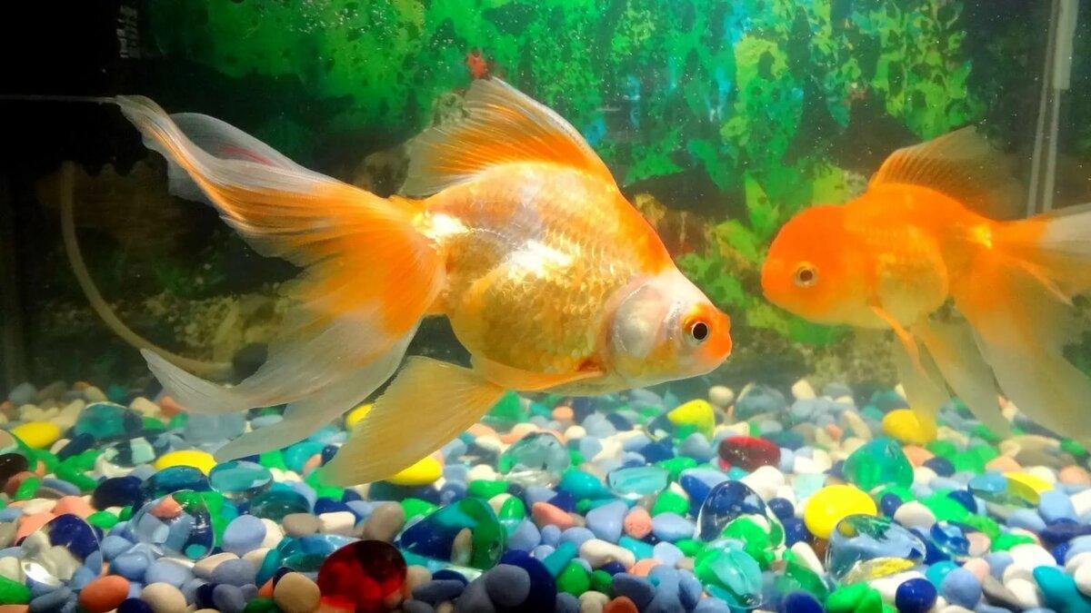 если картинки золотая рыбка на рабочем столе моей голове