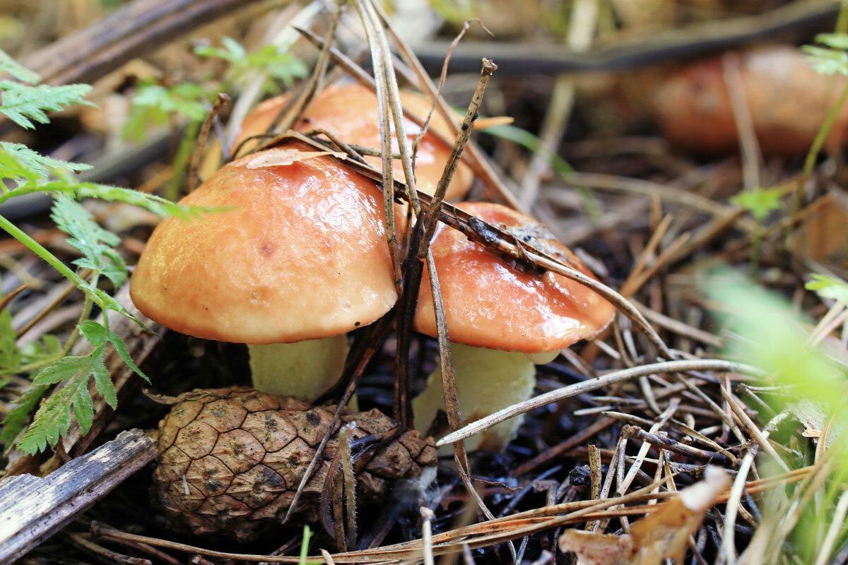 грибы маслята фото и описание как готовить пристрастия героину