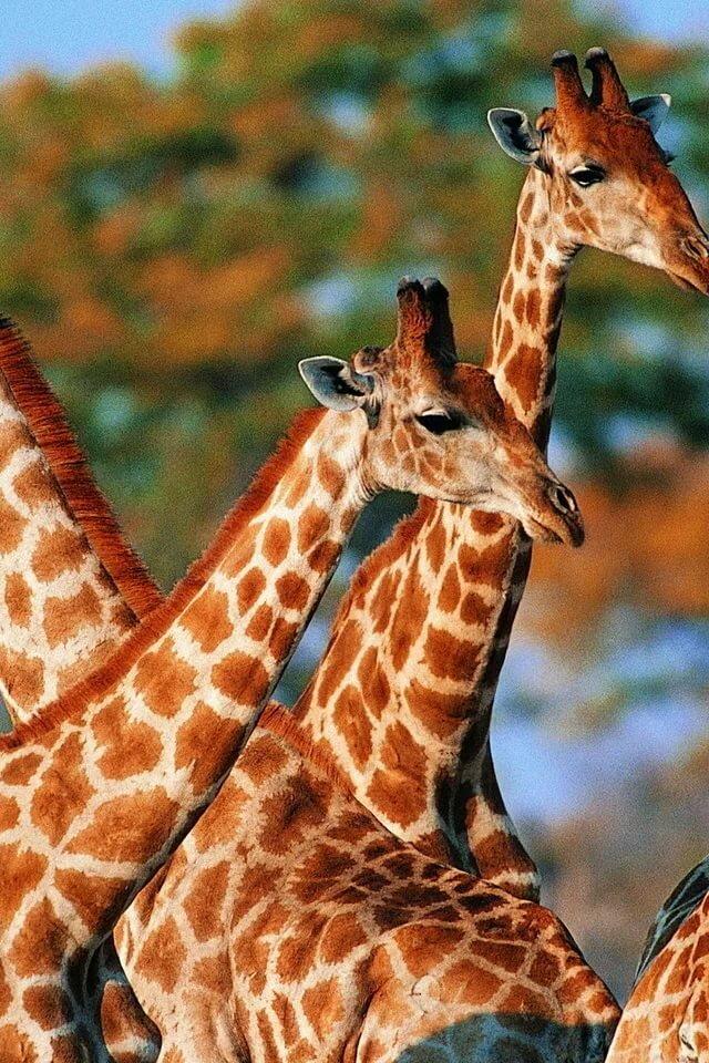 Картинки расцветки жираф