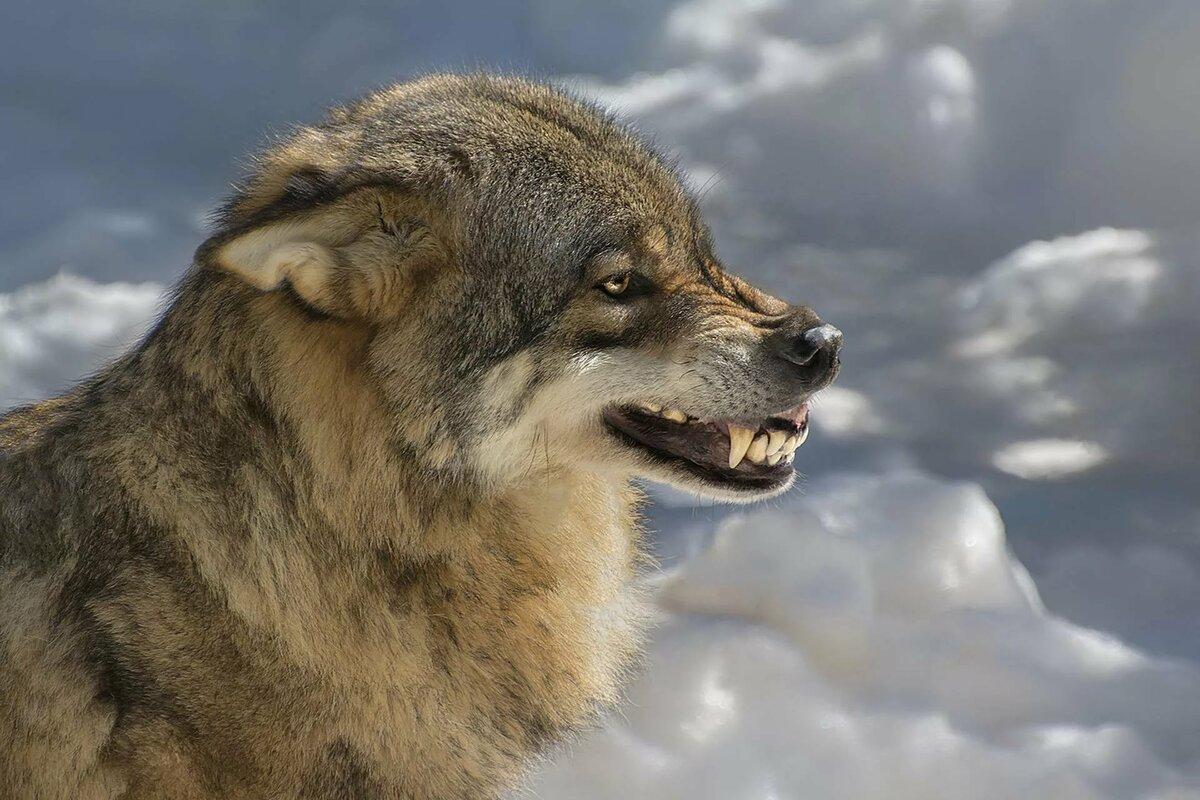 лучшие фото волчары места, которые