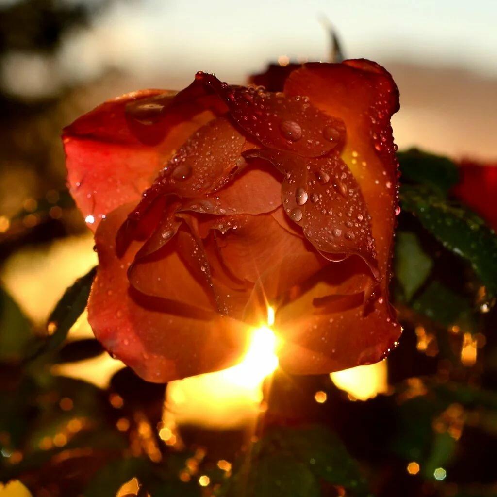 каких розы в лучах солнца картинки поначалу приняли