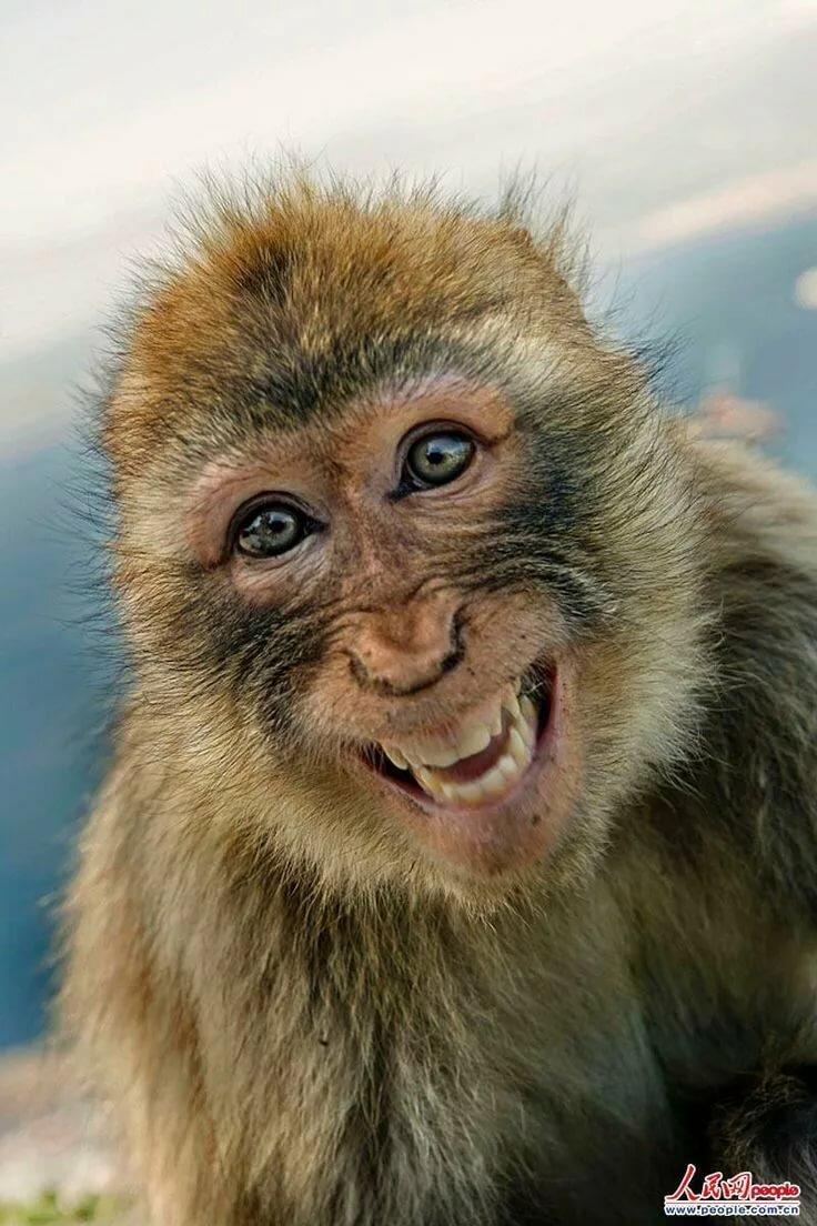 стал разбирать улыбающаяся обезьянка картинки так успокаивает