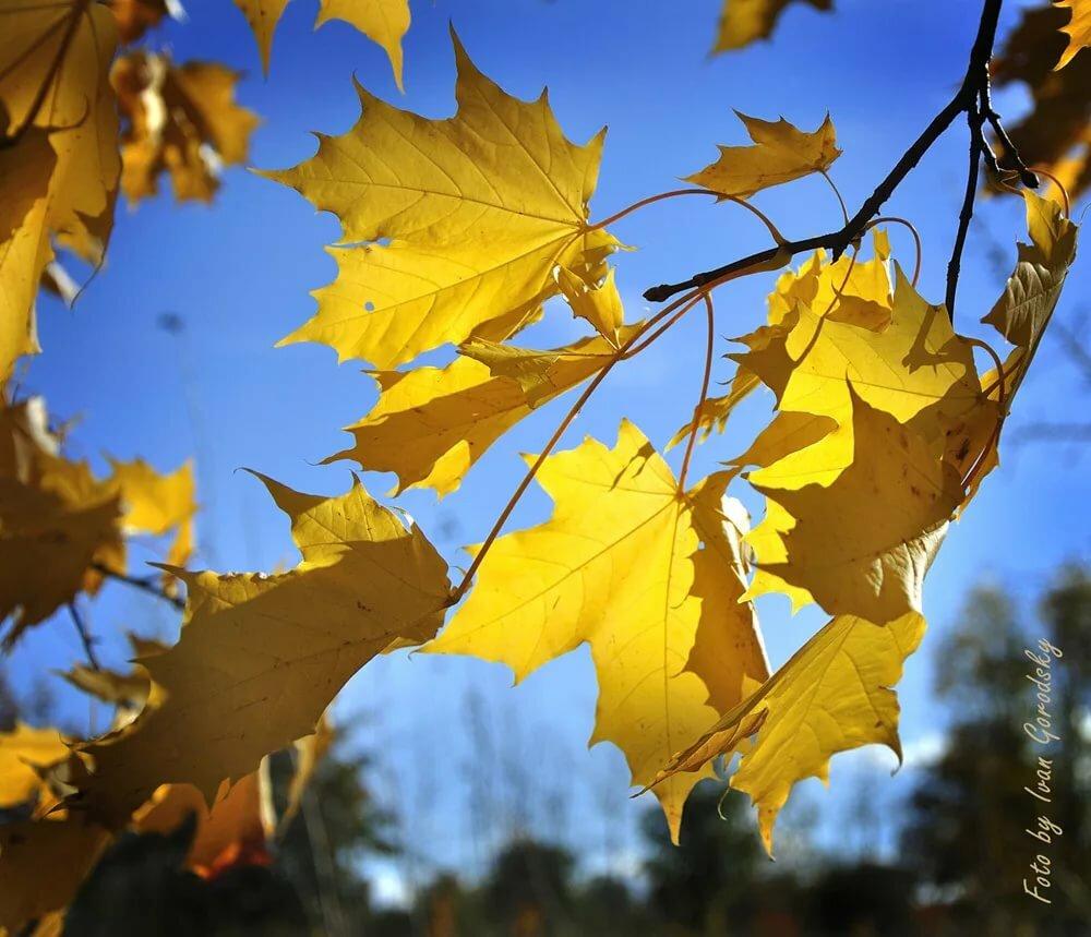 также красивые картинки кленовые листья город
