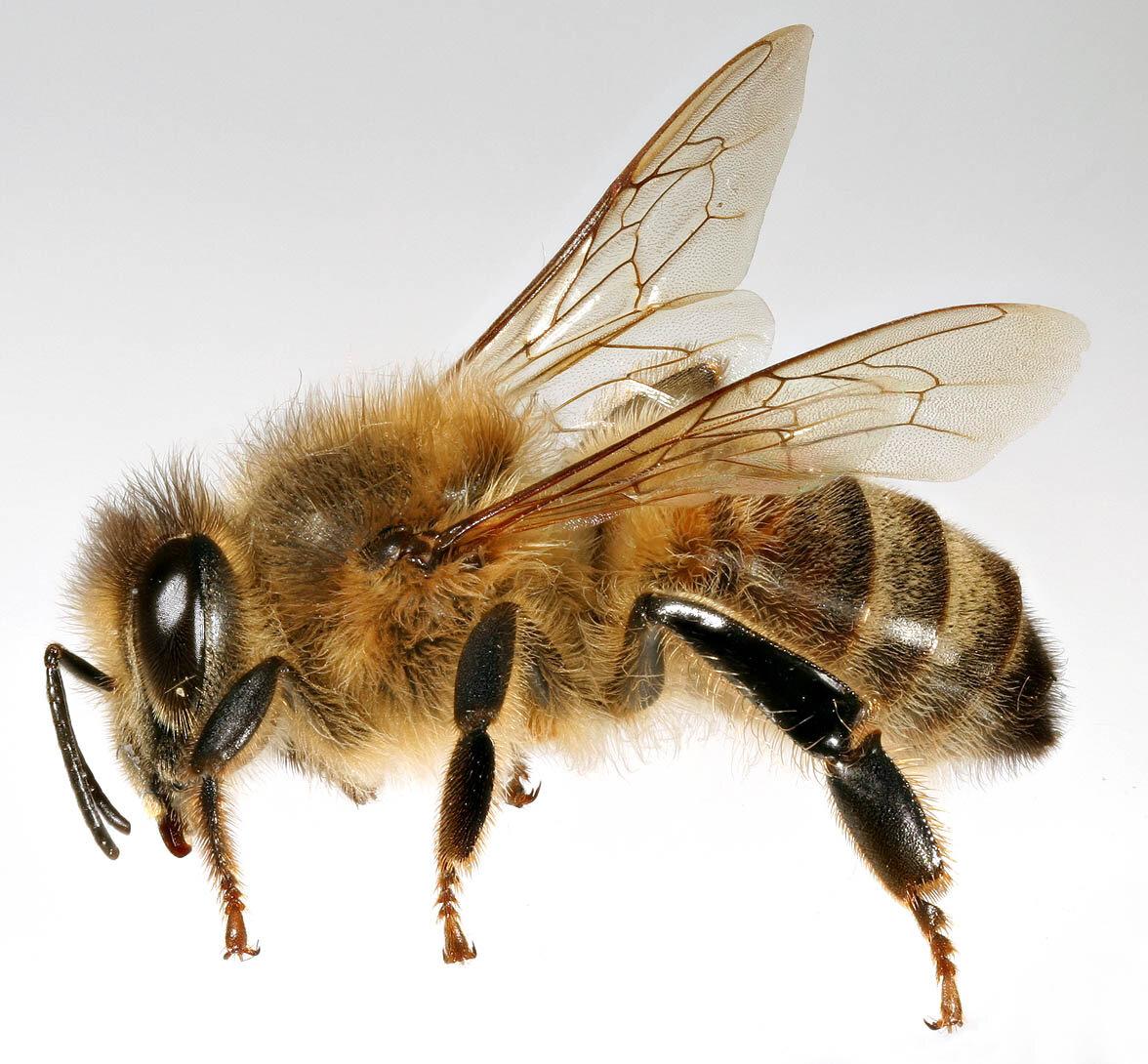 русская пчела картинки