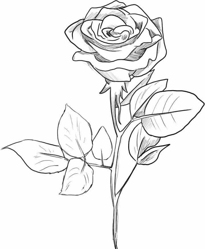 Вам, картинки розы для срисовки
