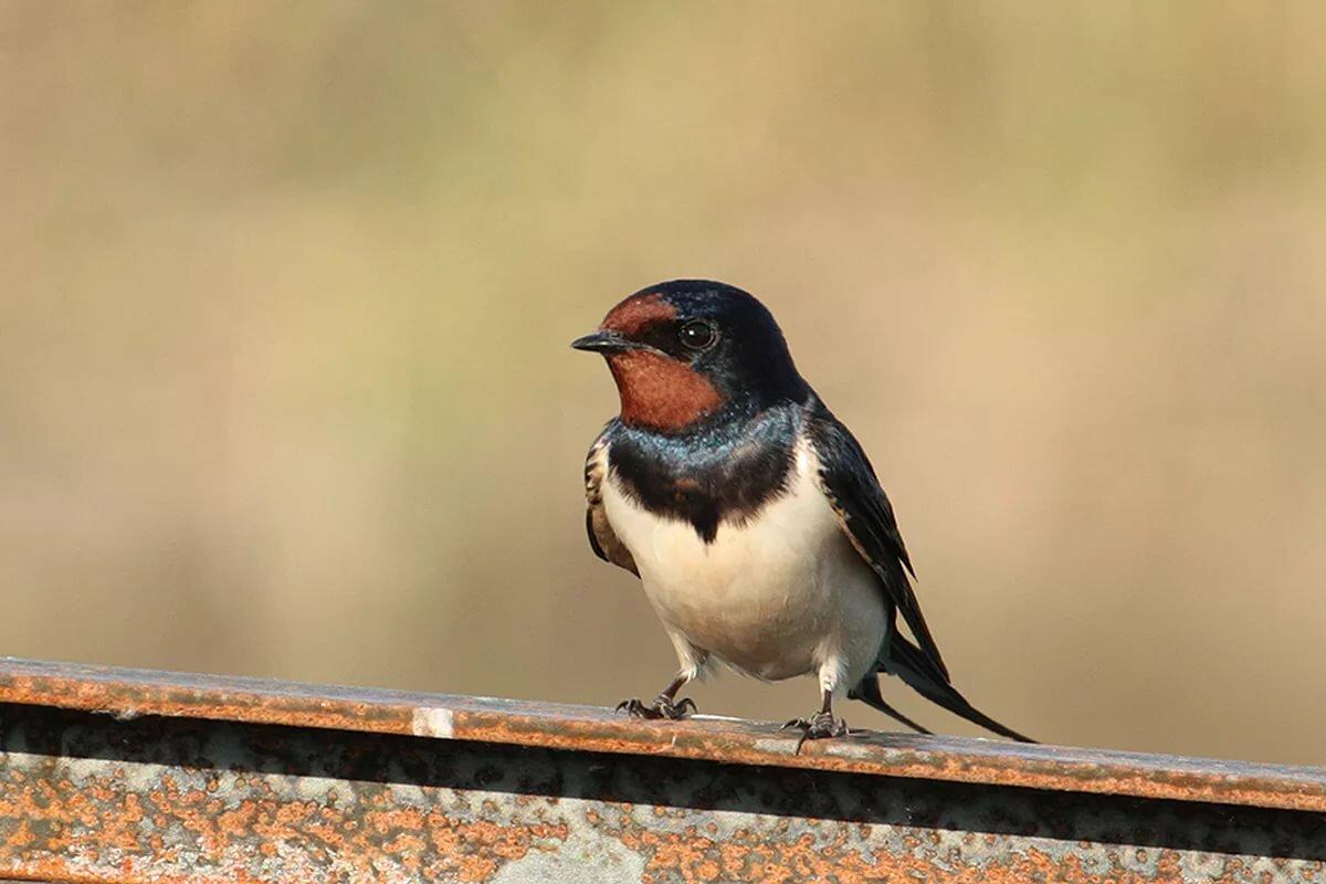 Птицы ласточки картинки