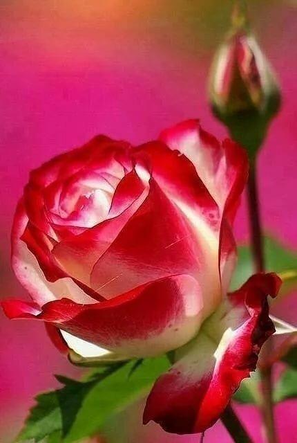 Картинки на телефон роза с надписью