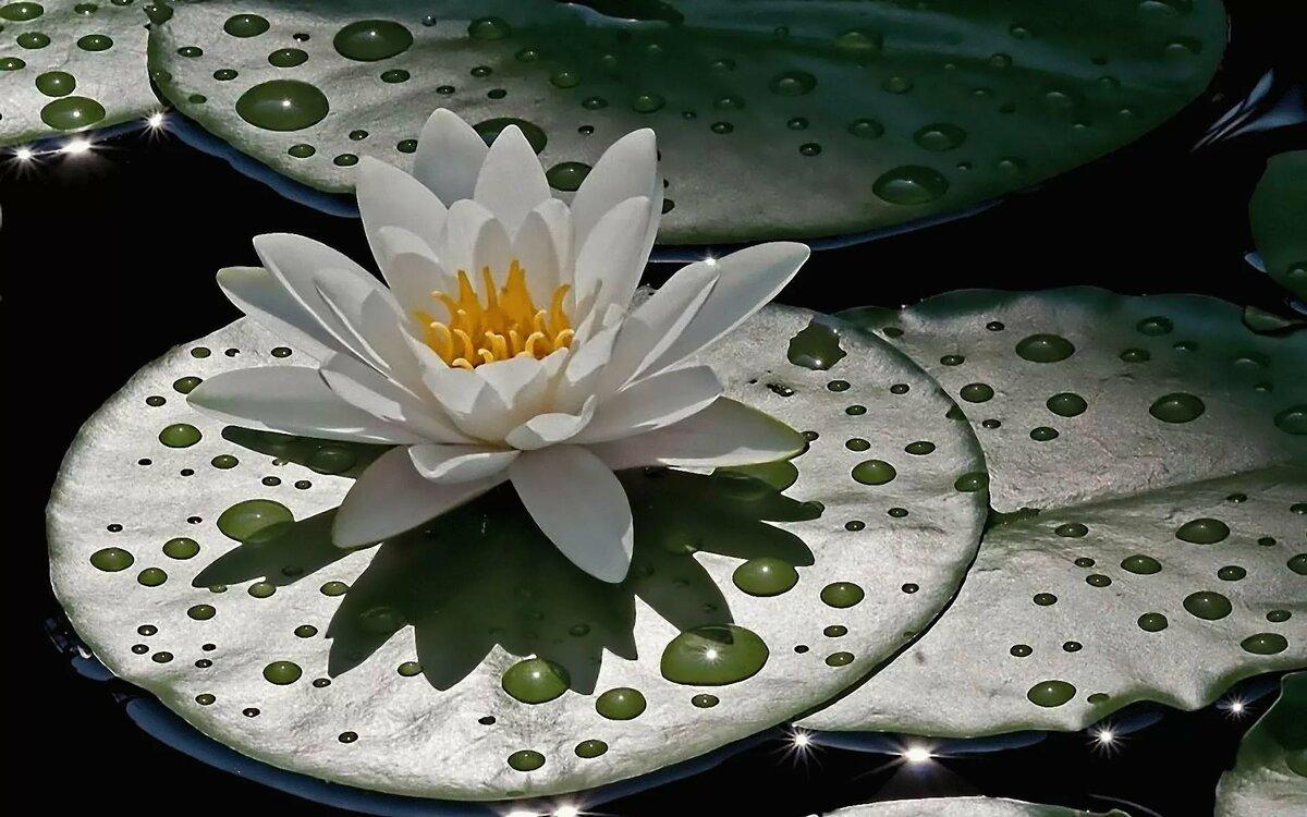 Водяные лилии кувшинки лотосы картинки
