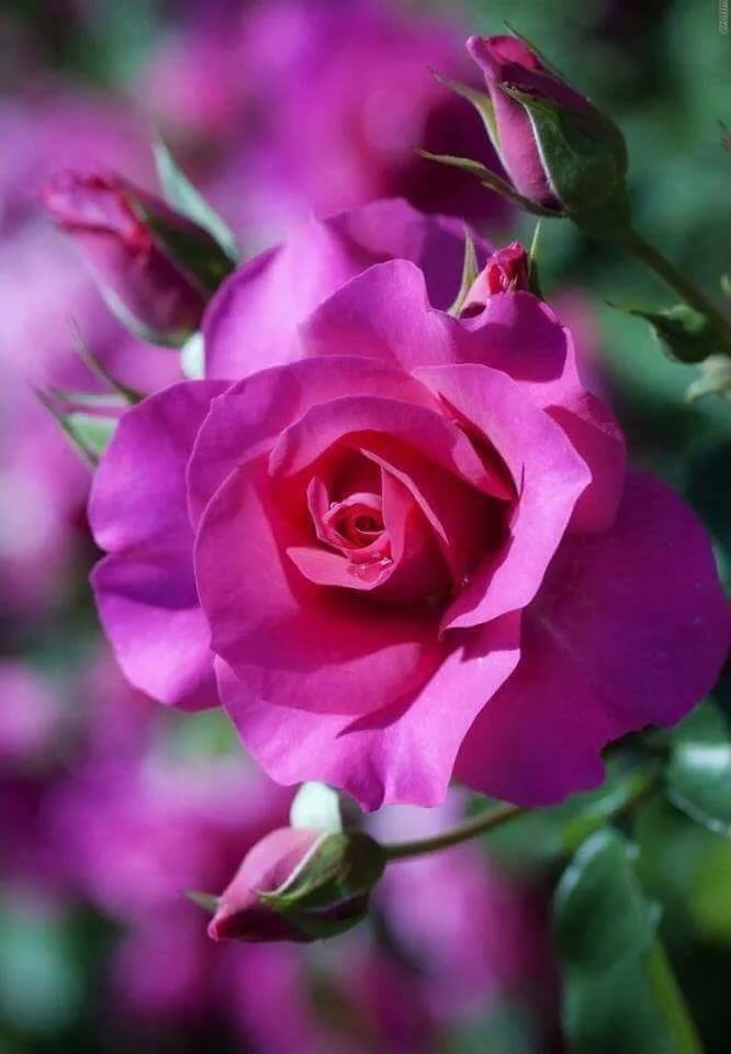 На телефон живые картинки с розами цветок, открытки днем