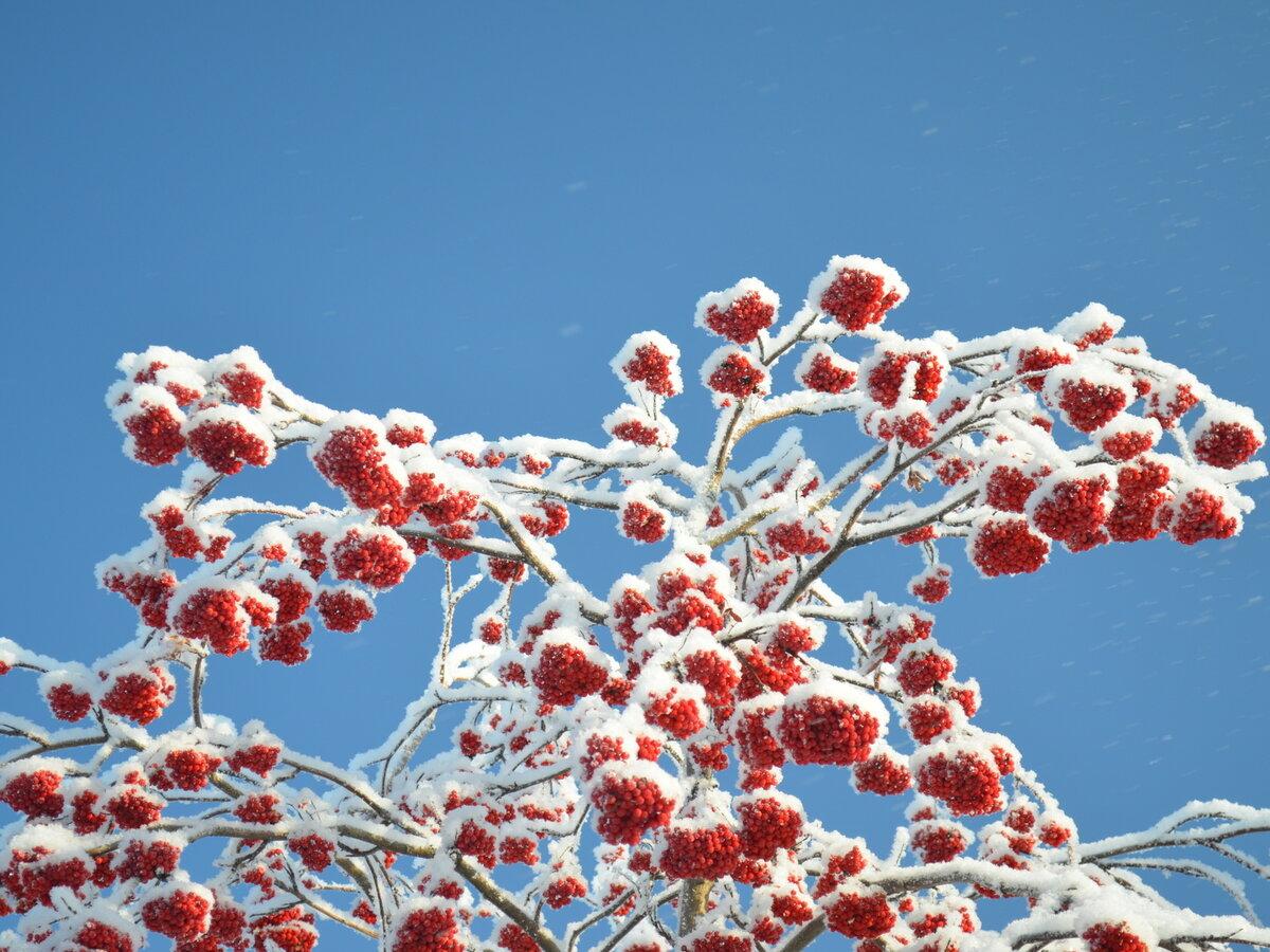 Фото рябина в снегу изображение на экран