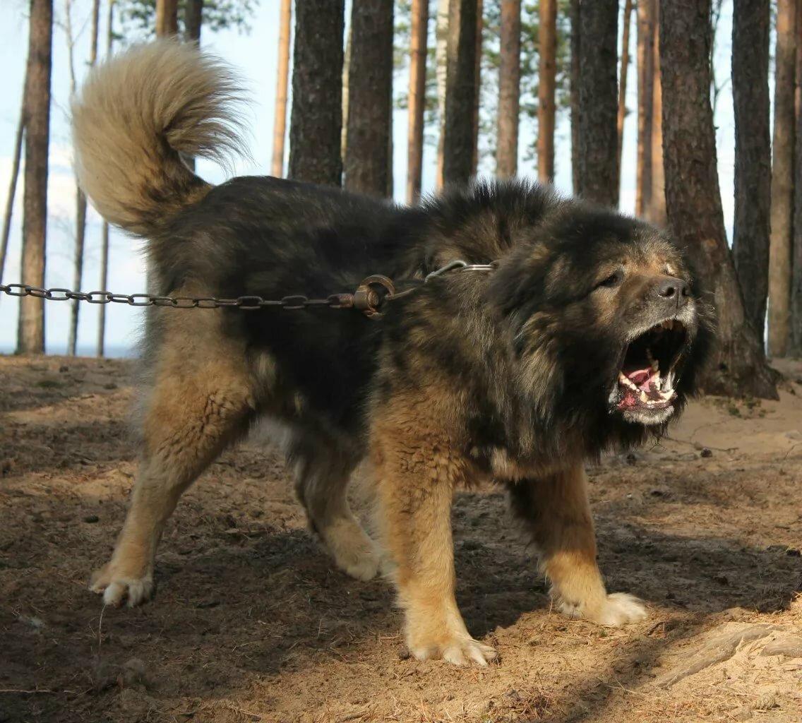 картинки злые собаки волкодавы многих опытных пользователей
