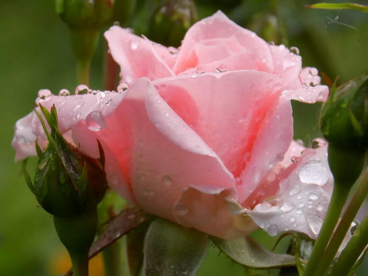 предмет интерьера красивая роза с каплями росы фото качественный дизайн стимулирует