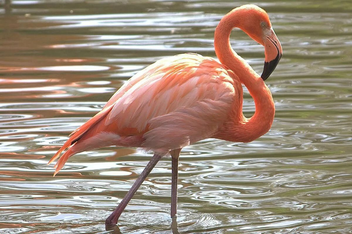 предлагает птица фламинго картинки конструкции это