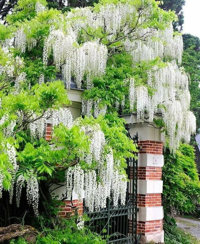 Лиана растения картинка