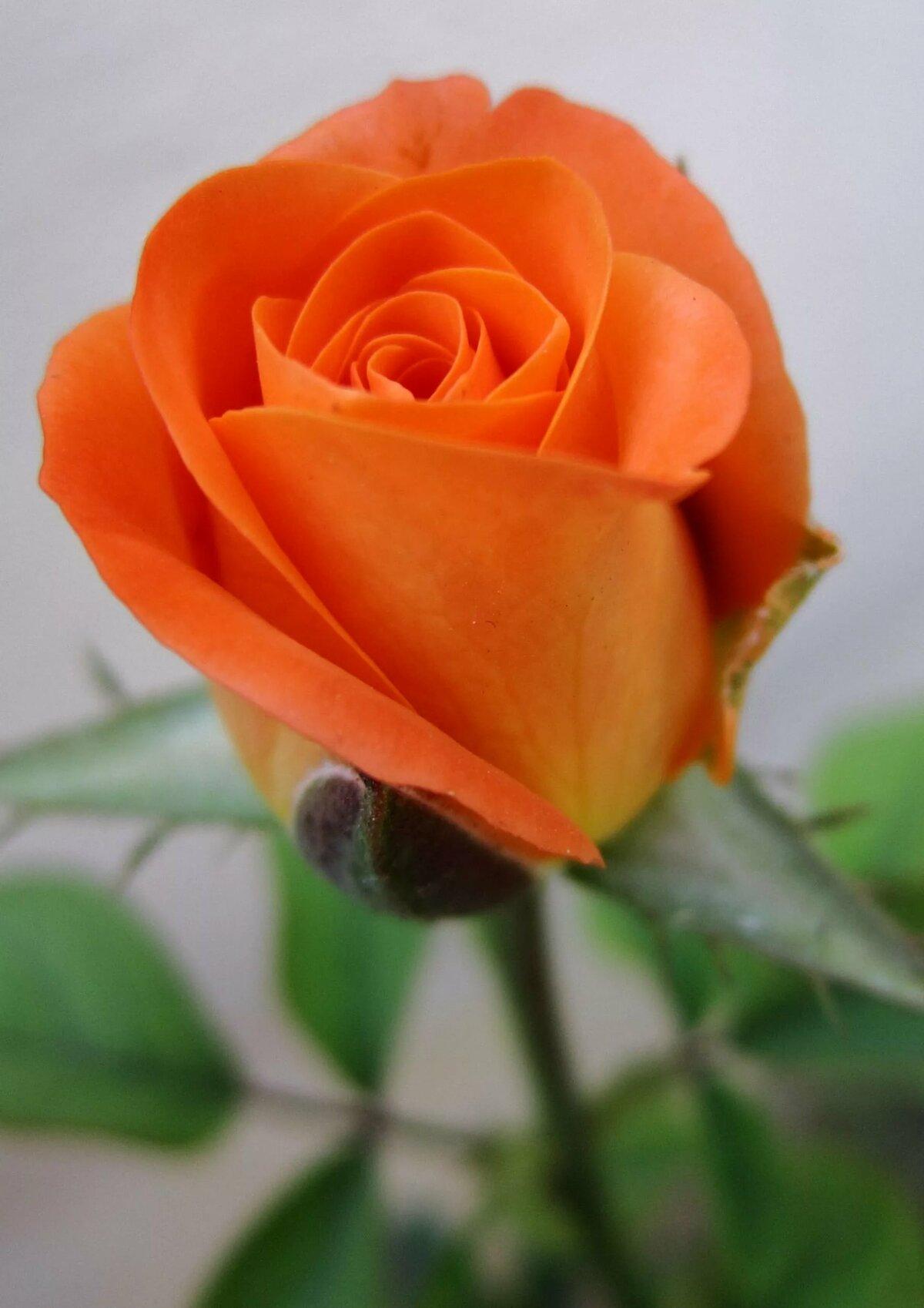 розово оранжевые розы картинка красивые