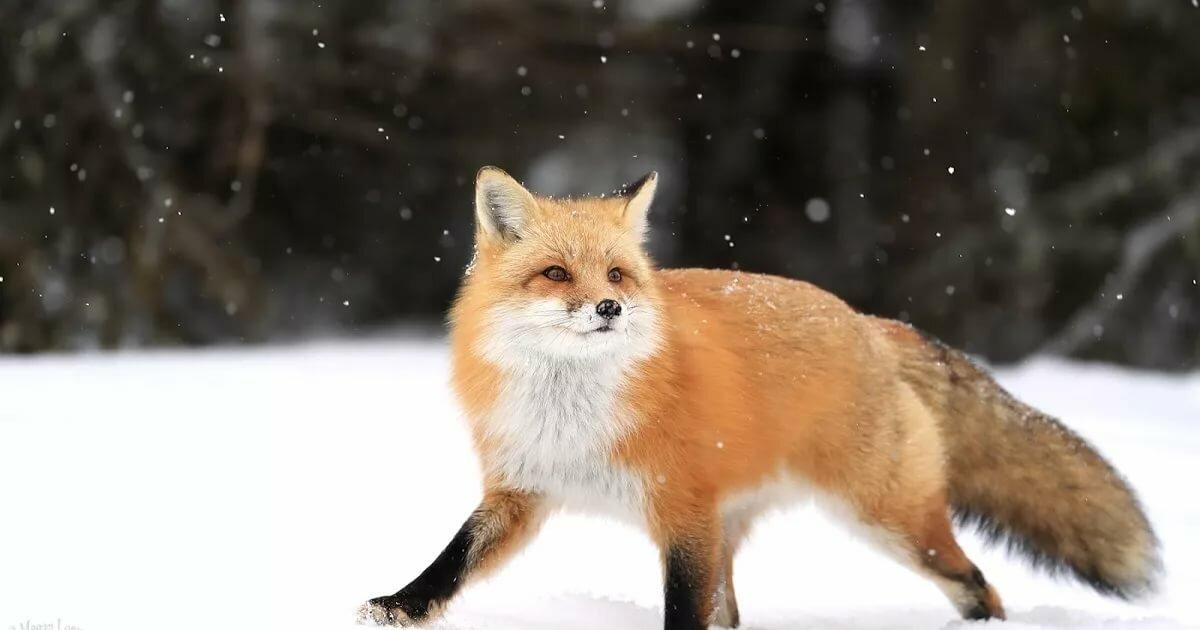 картинка лисы прорабы пройдет