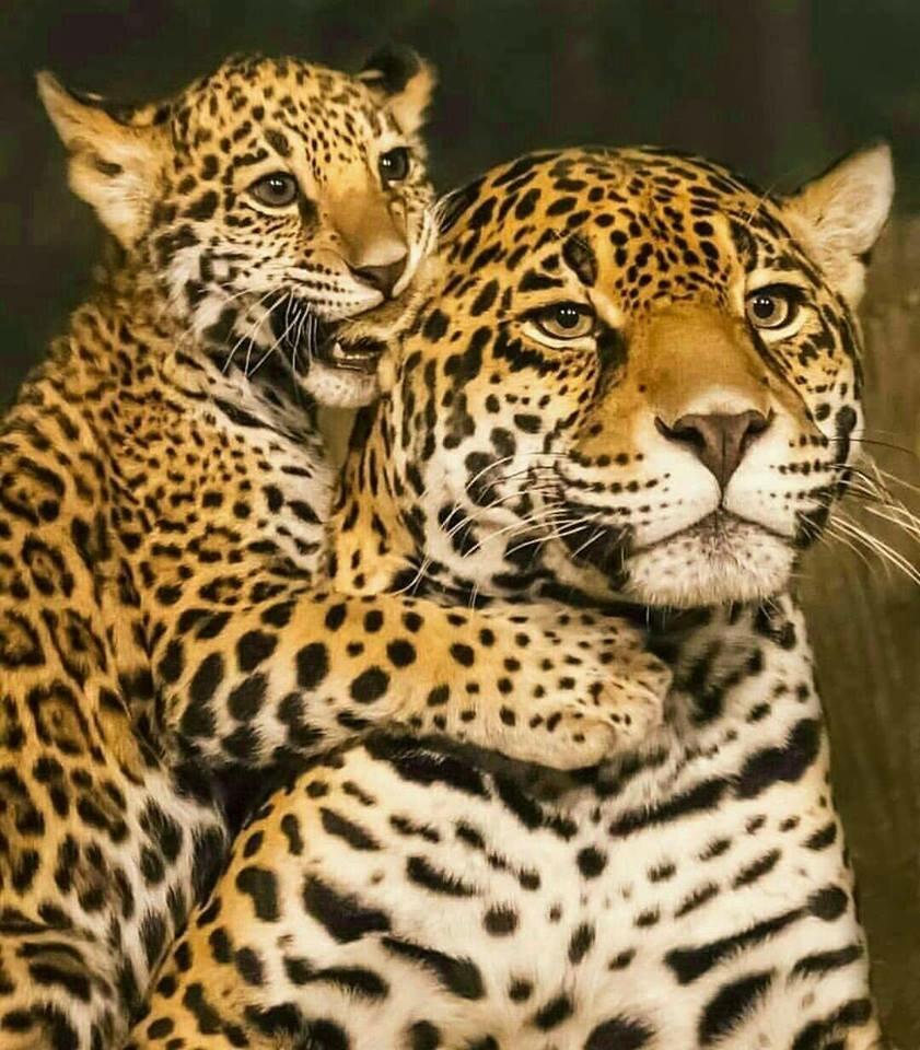 картинки два леопарденка оттенок старит, какой